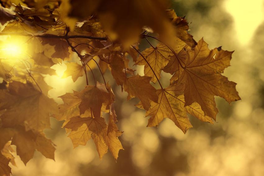 Autumn glory Nature Leaf Autumn Sunlight Tree Beauty In Nature No People Sun Sunbeam Leaves Nature Beauty In Nature