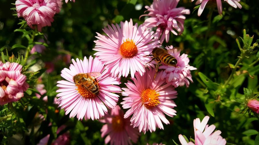 Flower Fragility Nature Plant Beauty In Nature Growth Flower Head Pink Color Eastern Purple Coneflower Coneflower Freshness Petal Purple Close-up Pollen Outdoors Blooming Bee Pink