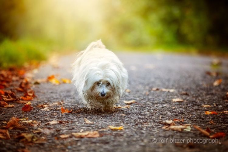 Havanese One Animal Dog Pets Domestic Animals Animal Themes Mammal Selective Focus Day Focus On Foreground Pampered Pets Loyalty No People Outdoors Havanese pers.