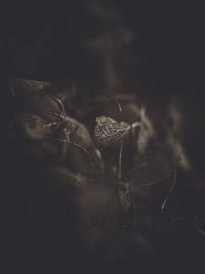 Dark and moody macro dead hydrangea skeleton Close-up Selective Focus Nature One Person Growth Flower Plant Fragility Flowering Plant Vulnerability  Freshness Plant Part Leaf Beauty In Nature Dry Dark Outdoors