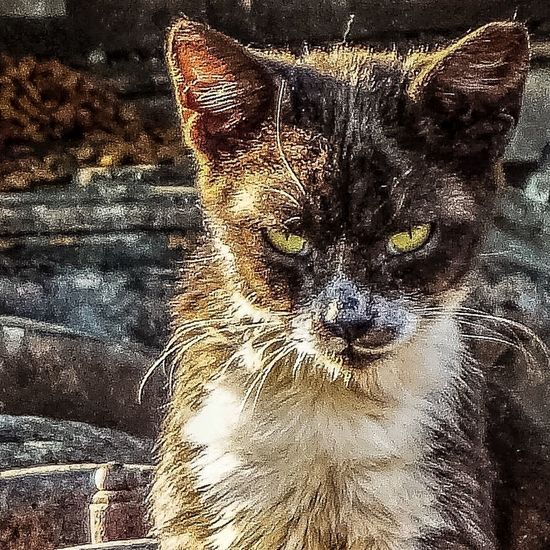 badass cat Cat Junkyard Bad Attitude Mean Cats Of EyeEm Eye4photography  Leopard Pets Feline Looking At Camera Full Frame Close-up Stray Animal Angry Animal Eye Tiger