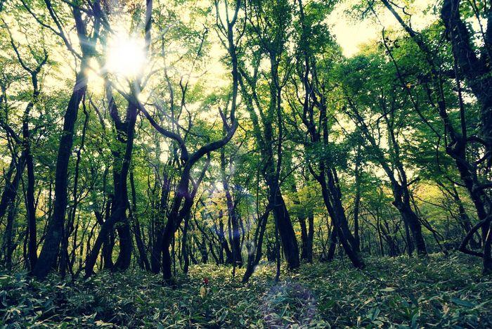 2013 Forest Green Color Growth Hallasan Mountain Jeju JEJU ISLAND  Korea Landscape Nature Outdoors Sun Sunbeam Sunlight Tree Trekking WoodLand チェジュ島 ハルラ山 森 済州島 漢拏山 登山 韓国 한라산