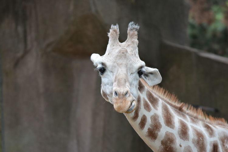 Portrait of giraffe at zoo