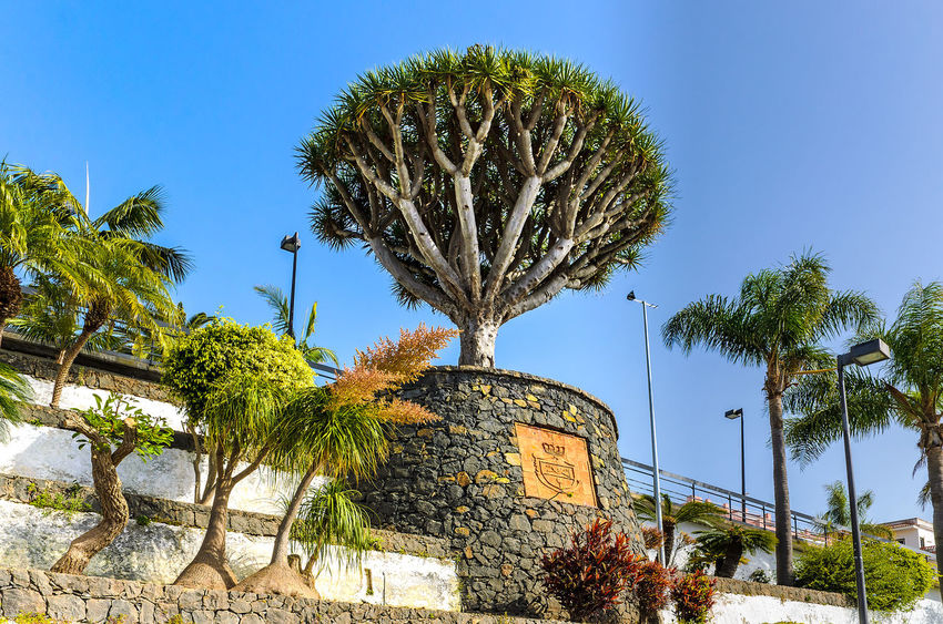 El Sauzal. Pictures from a small village in the north of Tenerife. Canary Islands Feliz-Photo SPAIN Architecture Beauty In Nature Building Exterior Built Structure Clear Sky Day Dragon Tree El Sauzal Foto Fotografia Fotografie Fotography Growth Low Angle View Nature No People Outdoors Palm Tree Plant Tenerife Teneriffa Tree