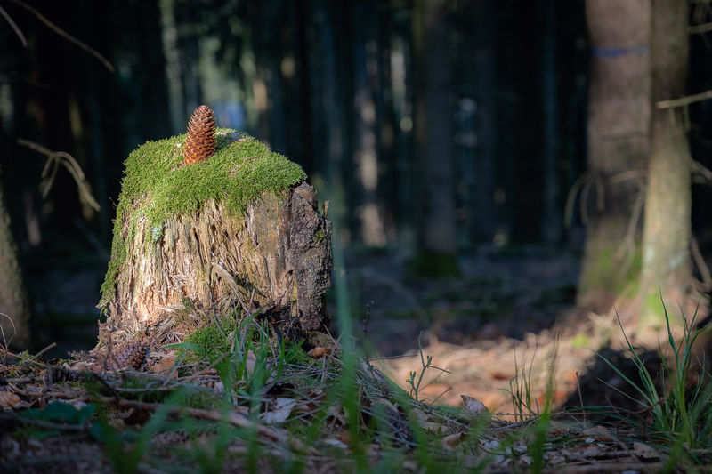 Mushrooms growing on tree stump in forest
