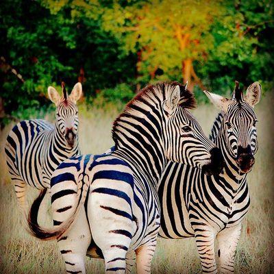 Zebra trio. Africanamazing Natureaddict Animalsaddict Squaredroid @Animals Wildlife Igersmp Africa Naturelover_gr