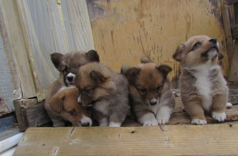 Corgi puppies playing on wooden porch