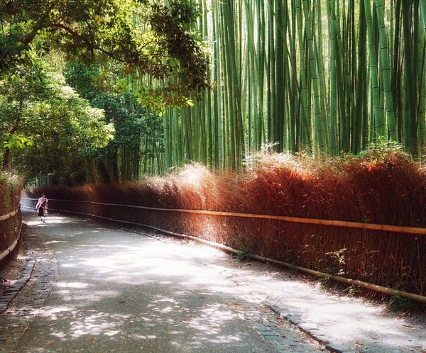 Kanin Capture The Moment Travel Destinations Bamboo Forest Kyoto Japan Forest Tree Nature Outdoors Beauty In Nature Bamboo Grove Landscape