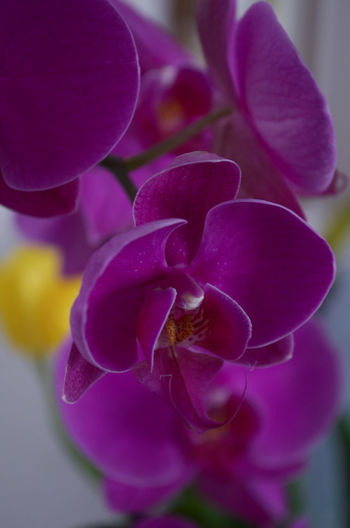 Orchid Orchids Purple Flower Purple Flower Flowers Plants And Flowers Close-up Still Life Onthetable Fresh Decoration Decorative Home Homedecor Indoors  Interior Focus On Foreground Selective Focus Interior Decoration Decorations Macro Freshness Colorful Orchid Blossoms