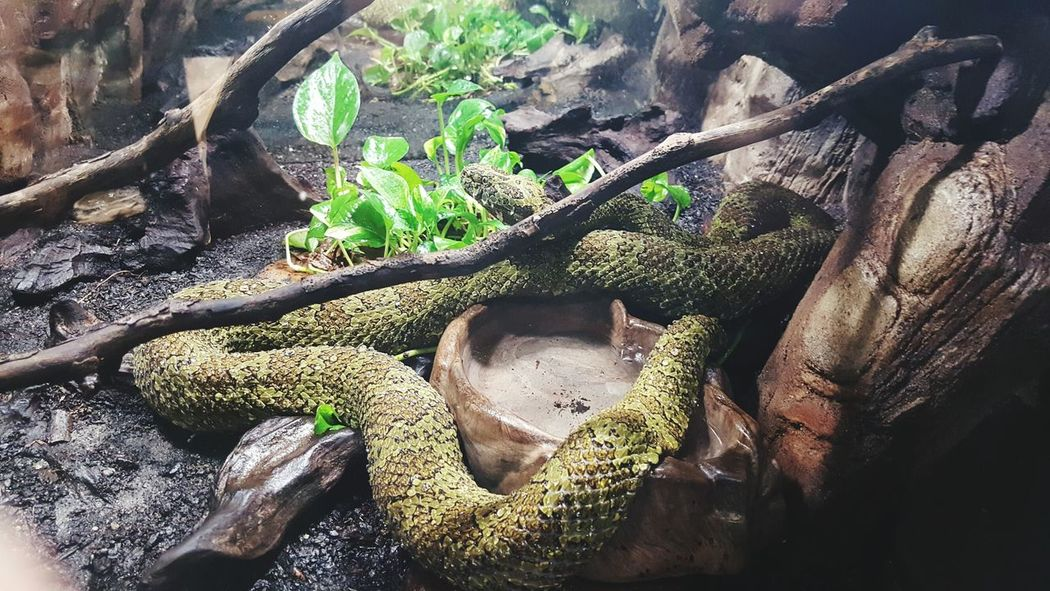 High Angle View Nature Green Color Close-up Snakes Are Beautiful Bigsnake Snakes Of Eyeem Snakeskins Reptile Boa Constrictor Boaconstrictor No People