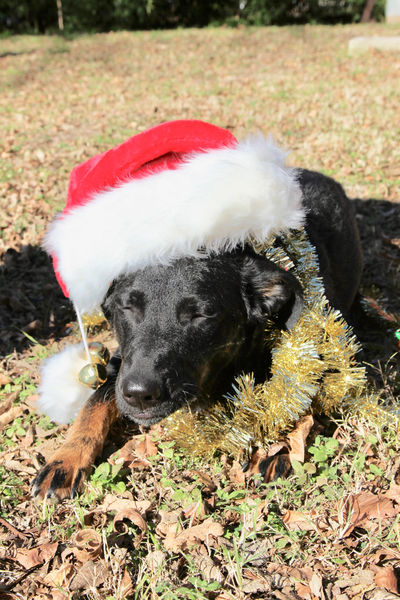 A Puppy In Santa Hat Celebration Christmas December Happy Holidays! Holiday Holidays Merry Christmas! Santa Hat A Dog In Santa Hat Outside Animal Portrait Animal Themes Dog Dog Closed Eyes Dog In Santa Hat One Animal Outside Outside Photography Pets Puppy Puppy Closed Eyes Puppy In Santa Hat Posing