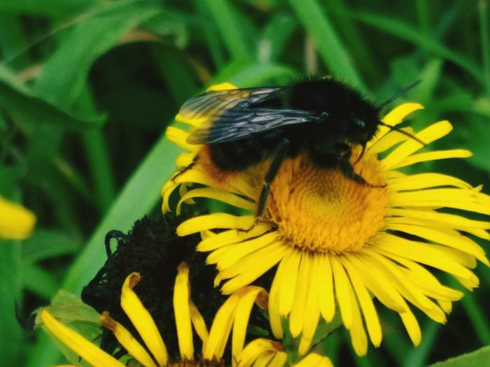 Flower Head Flower Bee Pollination Yellow Insect Petal Bumblebee Leaf Perching