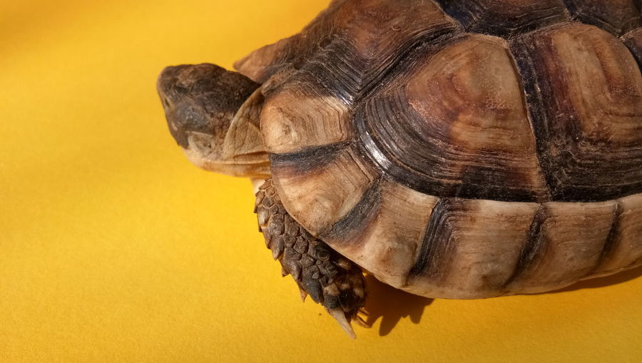 EyeEm Selects Tortoise Shell Tortoise Reptile Yellow Background Yellow Living Organism Colored Background Close-up Turtle