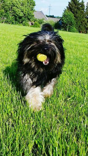 Bentjesgosaugustin Gos D'atura Dog I Love My Dog Dog Walking Summer Mydog Ilovemydog
