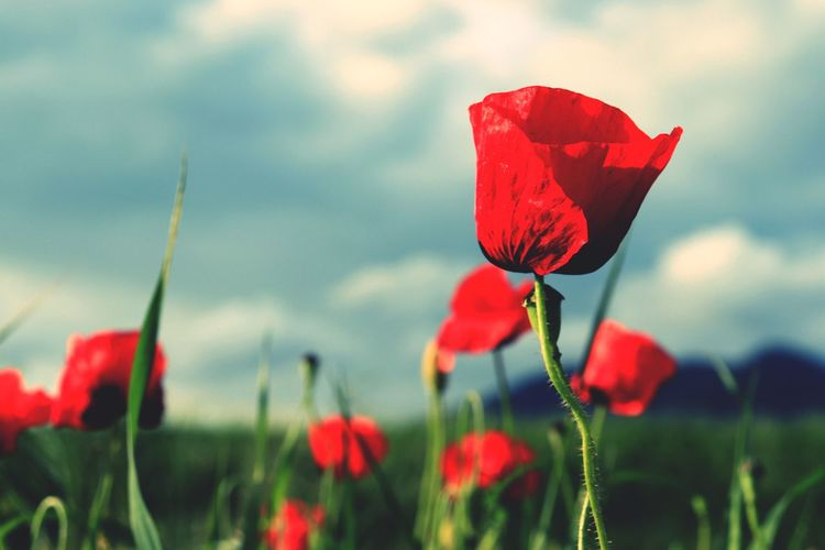 https://youtu.be/AUDdvZyoTjw Sky And Clouds Mountain Red Poppies Beauty In Nature Fragility In Nature Love ♥ Naturelover Poppies  Poppy Flowers Fragility Nature Harmony Grass Flower Head Flower Poppy Red Sky Close-up Plant Wildflower Plant Life Uncultivated Petal Botany My Best Photo