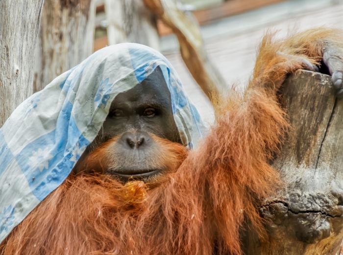 Close-up portrait of orangutan wearing fabric