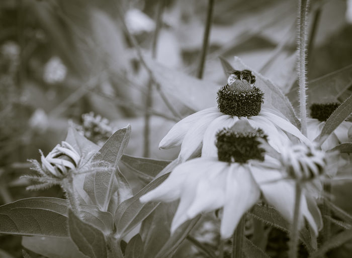 Echinacea Garden flower Artistic Expression Beauty In Nature Blackandwhite Blooming Close-up Day Echinacea Purpurea Fine Art Photography Flower Flower Head Fragility Freshness Garden Flowers Growth Leaf Nature No People Outdoors Petal Plant White Color