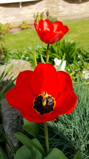 Flower Red Nature Petal Freshness Beauty In Nature Fragility Flower Head Tulip Plant Growth Close-up Blooming Outdoors Poppy No People Day Live For The Story