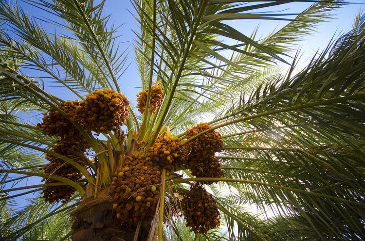 Palm Trees Palm Palm Trees ❤❤ Palm Leaf Palm Leaves نخيل القصيم