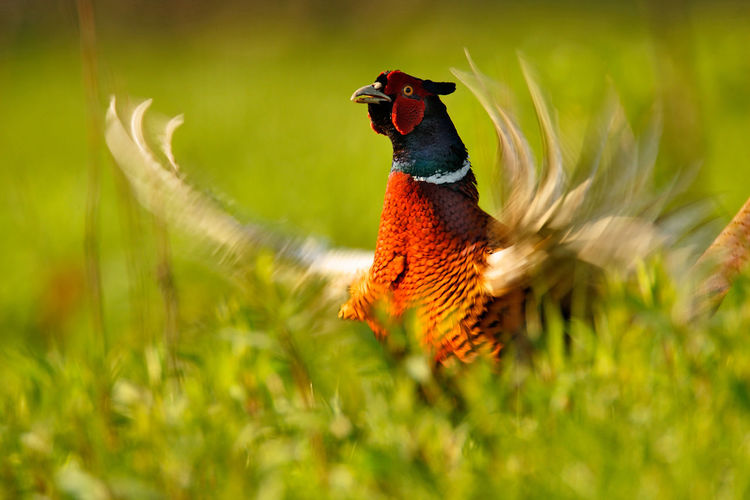 Pheasant is singing in the grass