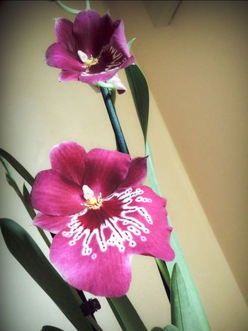 Flower Petal Flower Head Fragility Freshness Beauty In Nature Vase Nature Growth Blooming No People Orchid Miltonia Orchid Purple Close-up Plant Indoors  Day Orchid