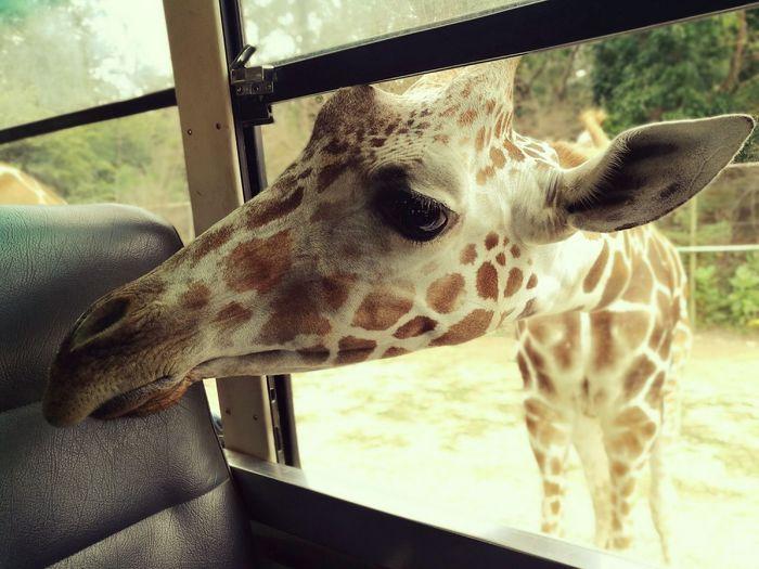 Giraffe in Open