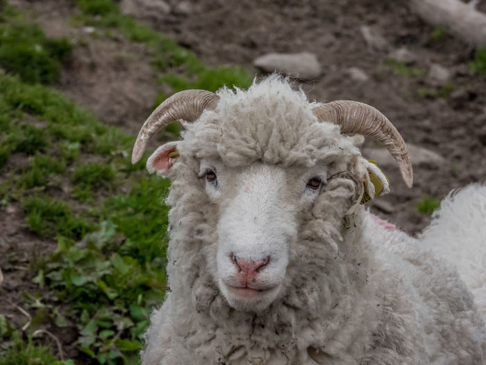 Sheep face Mammal Domestic Animals Domestic Livestock Portrait Pets One Animal Vertebrate Looking At Camera Sheep Field Land Focus On Foreground Close-up No People Livestock Tag Day Herbivorous Sheeps Sheep Farm Face
