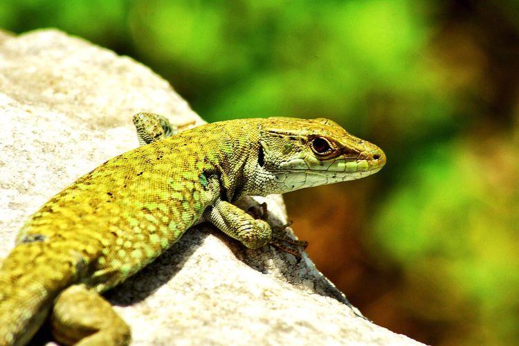 Lizzard Gecko Nikon Macro Photography