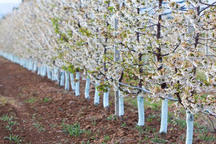 Agriculture Apple Orchard Apple Tree Apple Trees Garden Blossom Dandelion Farm Row Spring