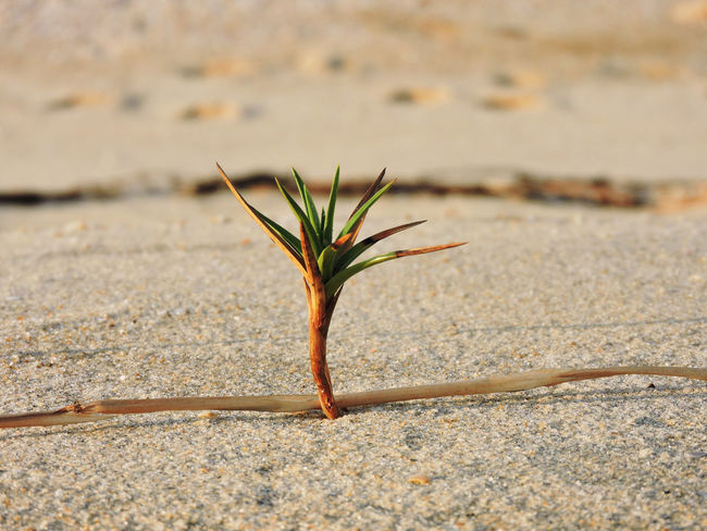 EyeEm Selects Sand Beach Plant Mini Coconut Arid Climate Growth Close-up No People Beach Summer Sunlight Desert Outdoors Day Plant