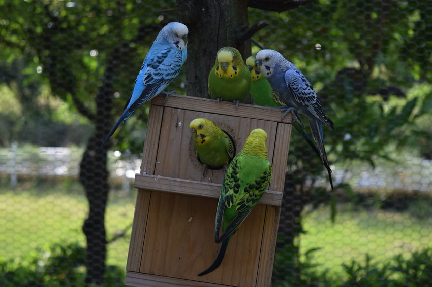 Melopsittacus Undulatus Animal Animal Themes Bird Focus On Foreground Group Of Animals Outdoors Plant