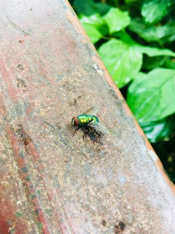 Fly Insect Invertebrate Animals In The Wild Animal Themes Animal Wildlife One Animal Animal Close-up Day Housefly No People Fly Green Color Nature Focus On Foreground High Angle View Animal Wing Outdoors Leaf Beetle