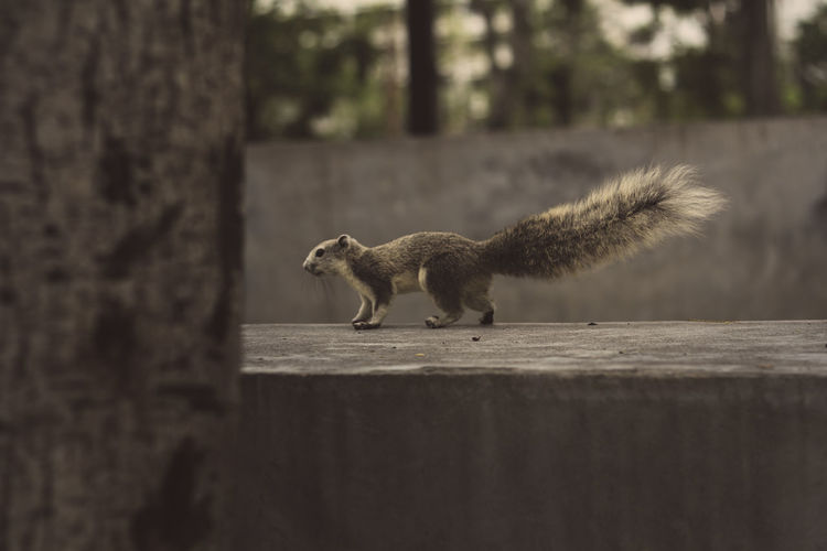 Close-up of squirrel on retaining wall