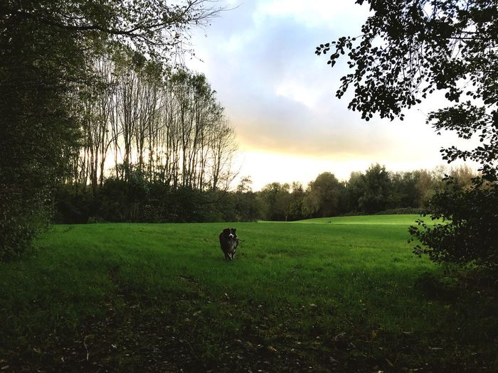 Tree Grass Nature Animal Themes Growth Sky Field Tranquility Beauty In Nature Tranquil Scene No People Green Color Scenics Landscape Outdoors One Animal Cloud - Sky Domestic Animals Mammal Plant Happiness Amsterdam Australianshepherd Running