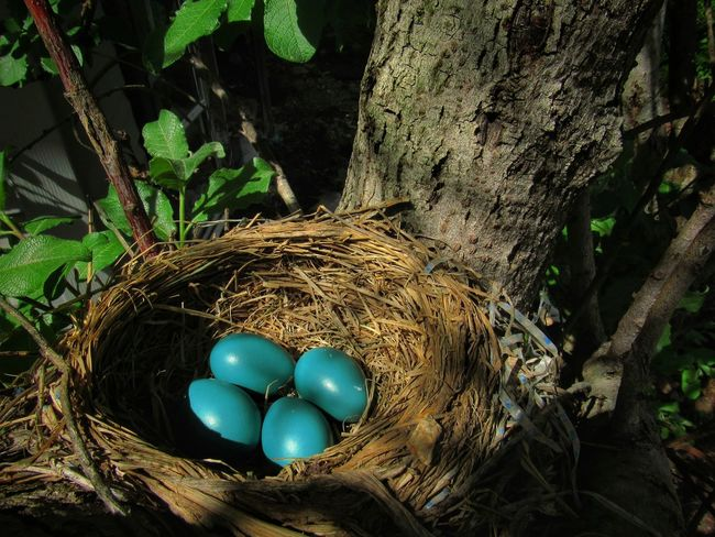 Here's her four babies!😊✌ Exceptional Photographs Thankful✨ Outdoors Taking Photos Nature_collection EyeEm Best Shots EyeEm Nature Lover Eye4photography  EyeEm Gallery EyeEm Best Shots - Nature Shine On ✨ First Eyeem Photo Nature Naturelovers Robin Egg Tranquility Tranquil Scene Check This Out Simple Quiet Love High Angle View Close-up Green Color Bird Nest Nest Animal Nest Robin Nest Egg Adventures In The City Focus On The Story EyeEmNewHere