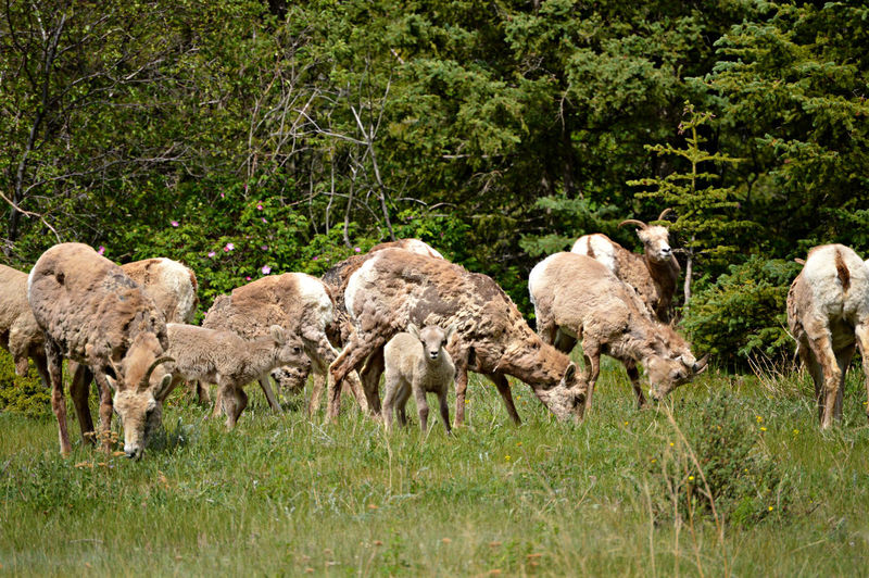 Came across this large family in Jasper National Park. Alberta Animal Family Babies Baby Baby Animals Big Horn Sheep Canada Field Grazing Jasper Jasper National Park Mammal Nature Nikon No People Outdoors Sheep Trees Wildlife Young Animal