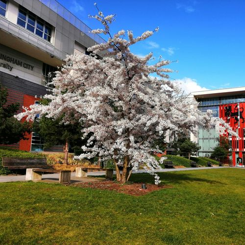 Cherry blossoms in lawn against building