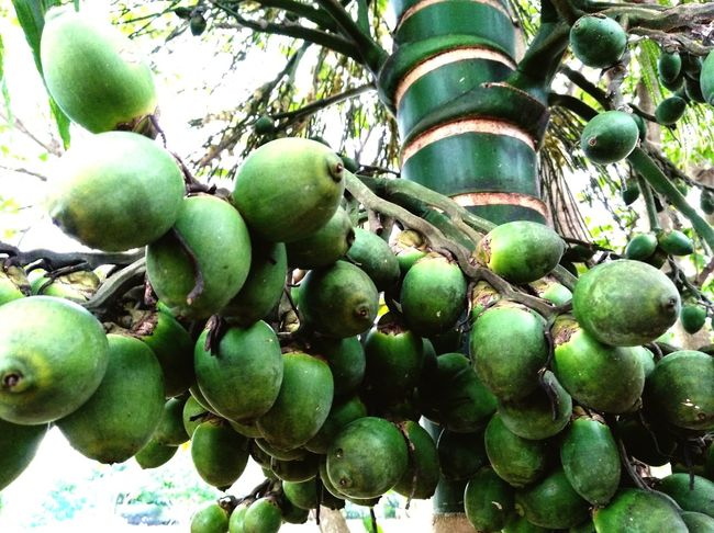 Areca Nuts Arecanut Tree Green Unripe Nature Tree Fruit Kota Belud Outdoors Beauty In Nature Green Color EyeEmNewHere