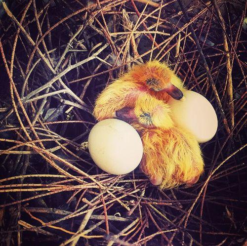 Easter Ready Birds Birds Of EyeEm  Babies Justborn Newlife Naturesbeauty ShotOniPhone6