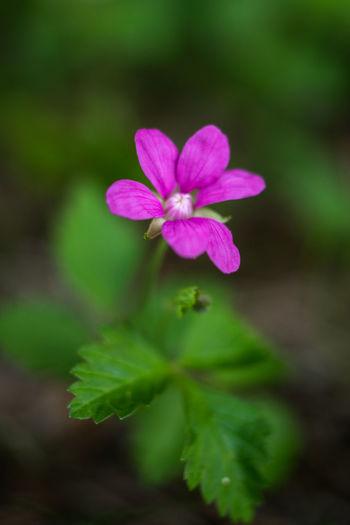 Beauty in nature Nature Beauty In Nature Plant Flower Close-up Macro Photography Rubus Rubus Arcticus