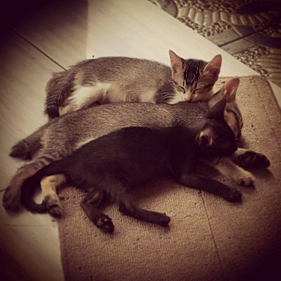Kittens Cats Pets Feline Kittens Domestic Cat Domestic Animals Kittens Of Eyeem Siblings Lying Down At Home Pet Portraits