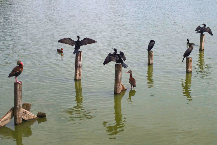 Birds on the Breeze Lake at Brownsville in the USA. Breeze Lake Brownsville Texas USA Animal Themes Animal Wildlife Animals In The Wild Beauty In Nature Bird Cormorants Day Ducks Lake Nature No People Outdoors Spread Wings Water Wooden Piles