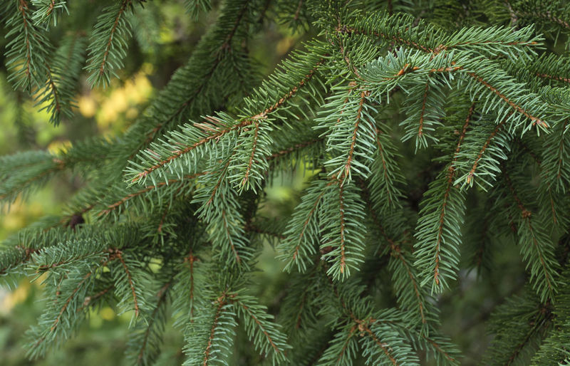 Spruce tree close-up. Christmas background Beauty In Nature Branch Close-up Coniferous Tree Day Fir Tree Focus On Foreground Full Frame Green Color Growth Leaf Nature Needle - Plant Part No People Outdoors Pine Tree Plant Plant Part Selective Focus Tranquility Tree Tree; Green; Spruce; Fir; Environment; Forest; Nature; Tree Branch; Park; Plant; Forestry; Needle; Pine; Background; Decoration; Twig; Wooded; Urge; Lush; Trunk; Botany; Vegetation; Timberland; Detail; Coppice; Pine Forest; Wood; Coniferous; Conifer; Xmas