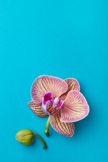 Close-up of pink flower against blue background