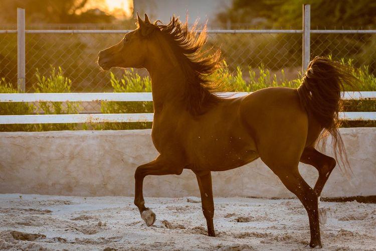 Arabian horse under sunset waves Mammal Animal Themes Animal Domestic Animals Domestic Horse Animal Wildlife One Animal Nature Sunlight Side View