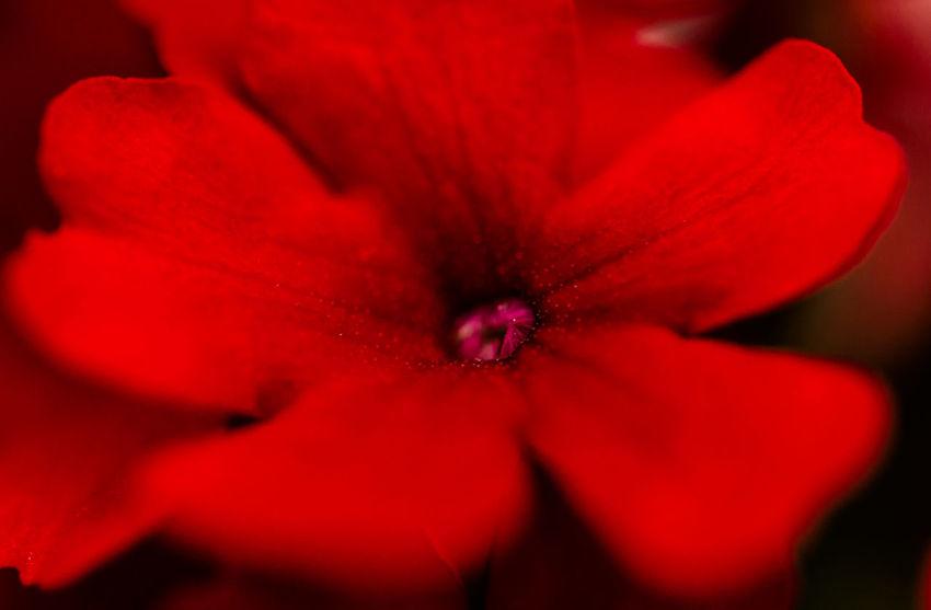 Red Velvet Anpaphotography AravindNarayanan Close-up Flower Macro Macro Photography Nikkor Nikon Nikonphotography Red Red Flower Red Velvet