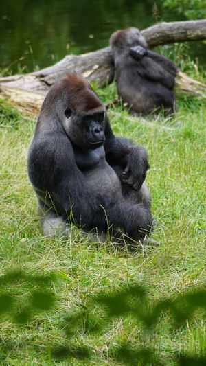 Grass Animals In The Wild Animal Themes No People Nature Mammal Animal Wildlife Day Outdoors Young Animal Togetherness EyeEm Gallery Primate Tree Beauty In Nature EyeEm Nature Lover Wildlife Gorilla Close-up Nature Denmark 🇩🇰🇩🇰🇩🇰 Giveskud