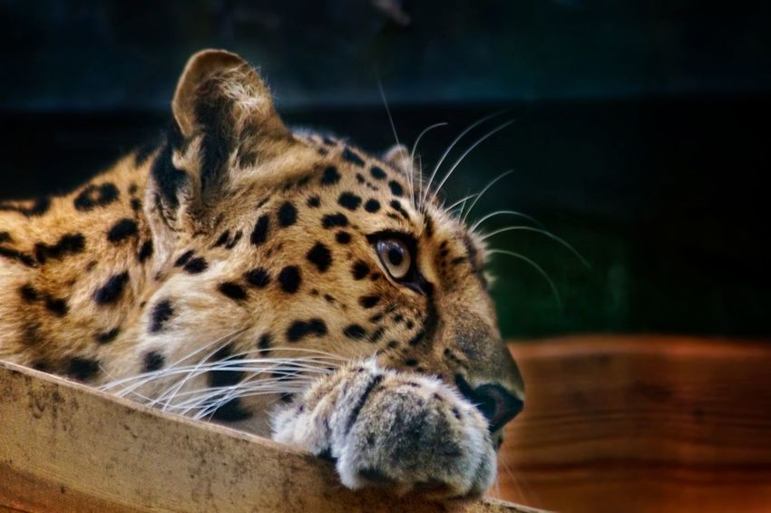 Be strong be beautiful be you! One Animal Animal Wildlife Animal Animal Head  Animals In The Wild Leopard Animal Themes Close-up Mammal Feline No People Portrait Nature Day Outdoors