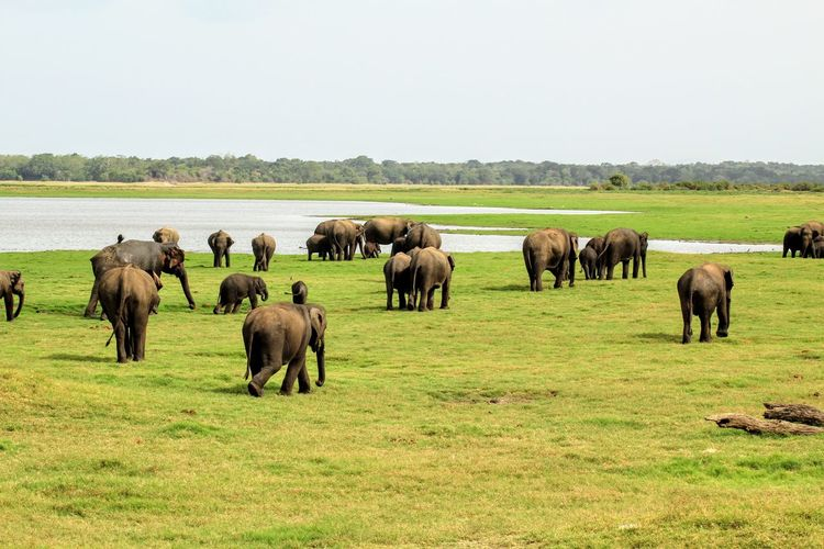 Elephants on grass by lake against sky
