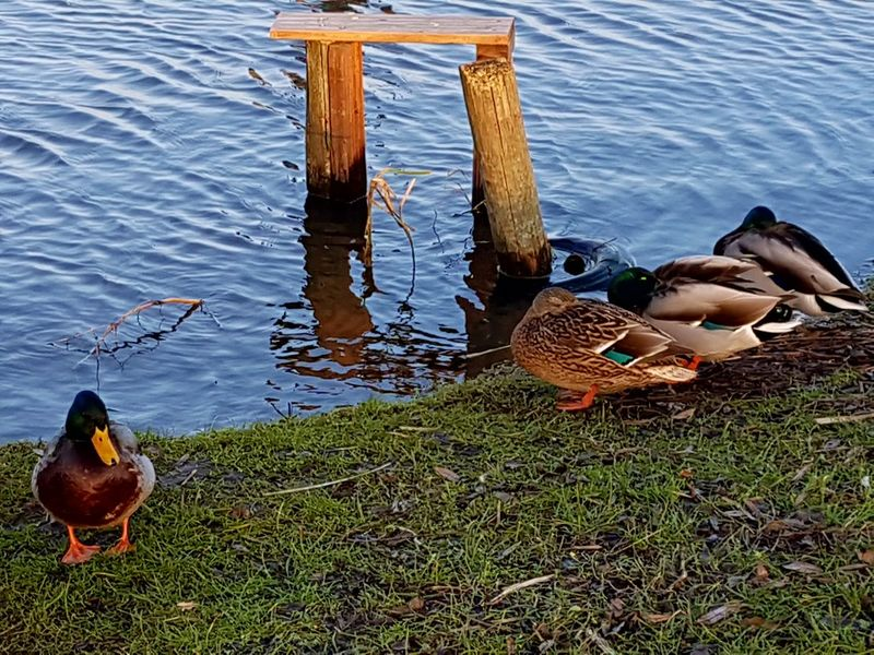 some Ducks at the pond Sleeping Sitting Wintertime Cold Temperature Group Of Ducks Water Day Animal Themes Animals In The Wild Bird No People Outdoors